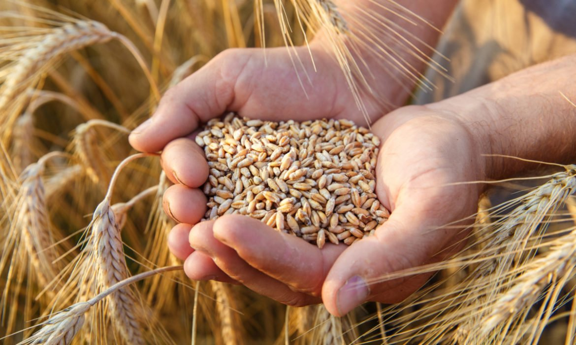 The Demand for Spring Wheat is Improving