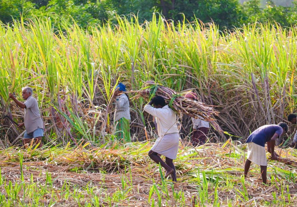 India's Sugar Crop May Face Delay in Harvest