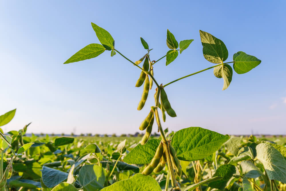 Soybean Edges Up, Brazil Farmers Get Incentive