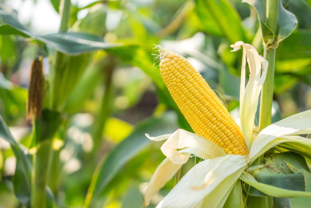 Demand for American Grains Surge, Corn Leads