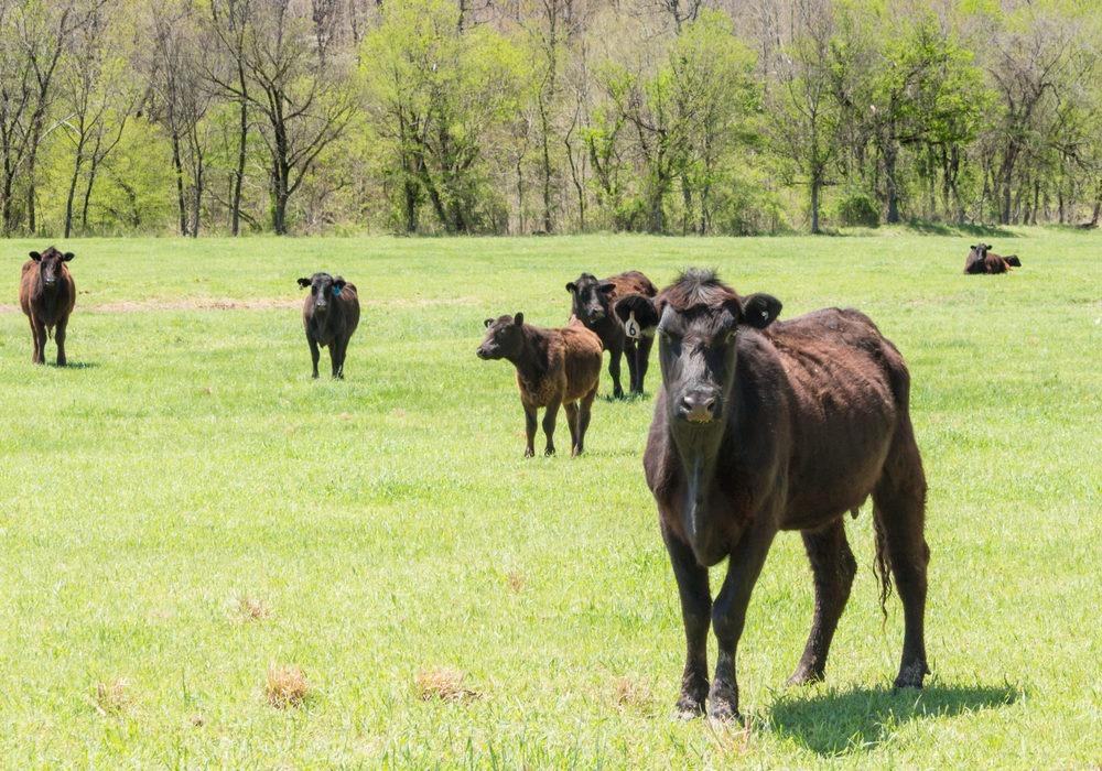 Bigger Tariff on Beef Called as Deforestation Worsens