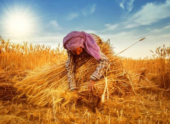 indian farmer on a wheat field